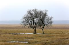 alone tress on spring meadow - stock photo