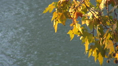 Beautiful view green yellow leaf hang river water sunny day sunset light autumn  Stock Footage