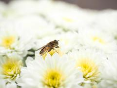 bee gathering nectar and pollinating white flowers - stock photo