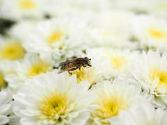 Bee gathering nectar while pollinating white flowers Stock Photos