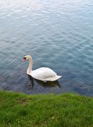 Swan and water ripple Kuvituskuvat