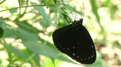 Male ventral view of the Striped Blue Crow butterfly Stock Footage