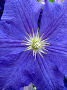 Beautiful blue flower of clematis by close up Stock Photos