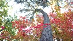Autumn Tree Motion Time-lapse Stock Footage