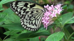 White Paper kite butterfly feeding on a pink flower. Stock Footage