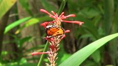 Common Tiger or Danaus genutia butterfly Arkistovideo