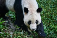 panda bear sichuan china - stock photo