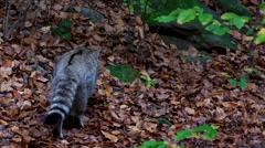 Wildcat in autumn Stock Footage