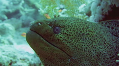 Giant Morey Eel in the Red Sea Stock Footage
