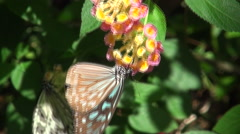 Glassy Tiger, Taiwan butterfly Stock Footage
