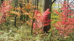 Fiery Foliage on the Forest Floor Stock Footage
