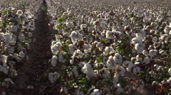 4K Mature Blooming Cotton Farm Field Rows Stock Footage