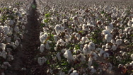Stock Video Footage of 4K Mature Blooming Cotton Farm Field Rows