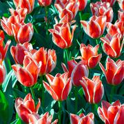 Beautiful tulpen flowers, tulips Stock Photos