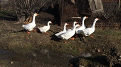 Three domestic white geese goes on the field Stock Footage