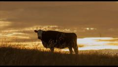 Cow Sunset Silhouette Stock Footage