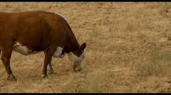 Brown Cow Grazing in West Marin Stock Footage