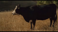 Black and White Cow Looking at Camera Stock Footage