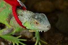 green iguana on a leash - stock photo