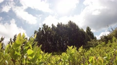 Small grove of pine trees in the middle of the bushes under white clouds and sun Stock Footage