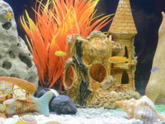 Fishes in an aquarium. Related clips are in my portfolio in 1920x1080. Stock Footage