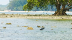 Heron fishing in a tidepool with an old mangrove in the background. Stock Footage