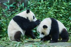 Two panda bears cubs playing sichuan china Stock Photos