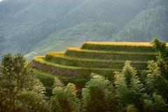 rice terraced fields wengjia longji longsheng hunan china - stock photo