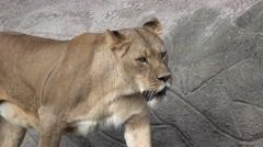 4k Lioness closeup walking mountain wall Stock Footage