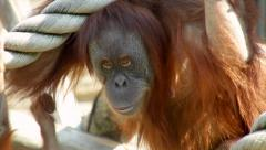 Closeup portrait of an orangutan female. Stock Footage