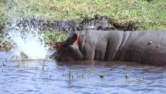 Hippo blows bubbles in Chobe River, Botswana, Africa. Stock Footage