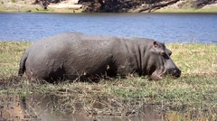 Hippo feeds in grass, Oxpecker cleans skin along Chobe River, Botswana, Africa. - stock footage