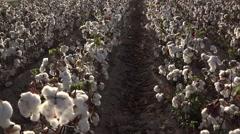 4K Farm Hands Harvest Cotton In Vast Farm Field Stock Footage