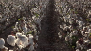 Stock Video Footage of 4K Farm Hands Harvest Cotton In Vast Farm Field