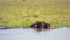 Hippo swims and feeds in the grass along Chobe River, Botswana, Africa. - stock footage