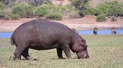 Hippo on land and feeding in the grass along Chobe River, Botswana, Africa. - stock footage