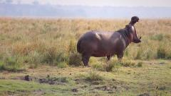 Hippo yawns in Chobe River, Botswana, Africa. Stock Footage