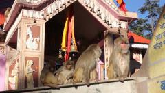 Temple monkeys in India Stock Footage
