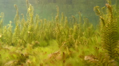 Perch swimming through dense aquatic vegetation Stock Footage