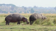 Hippos on land and feeding in the grass along Chobe River, Botswana, Africa. Stock Footage