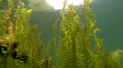 Pondweed stems in clear watered lake Stock Footage