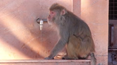 Monkeys drinking water Stock Footage
