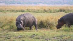 Hippos feed and mark territory by spraying dung in Chobe River, Botswana, Africa Stock Footage
