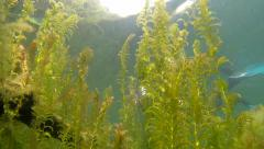 Snorkeling diver swimming behind pondweed vegetation Stock Footage