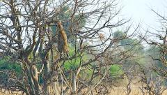 Leopard climbs high in a tree in Chobe River National Park, Botswana. Stock Footage