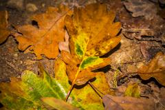 single autumn oak leave at the forest soil - stock photo