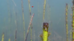 Red colored water mite diving Stock Footage
