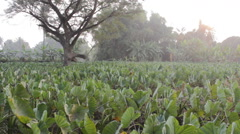 A field of taro plants growing in River Kwai, Thailand Stock Footage