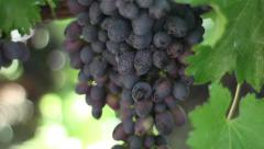 Ripe and juicy grapes. Vineyard, winemaking, grape harvest Stock Footage