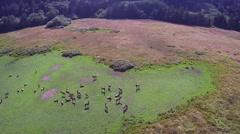 Circling Elk Herd Aerial Stock Footage